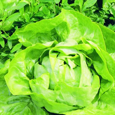 buttercrunch-lettuce