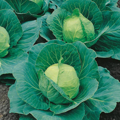 cabbage-golden-acre