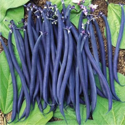 dwarf_bean_purple-queen